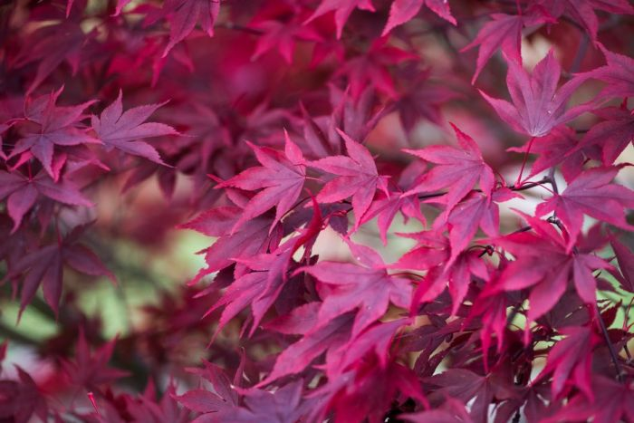 Japanese maple 'Fireglow'